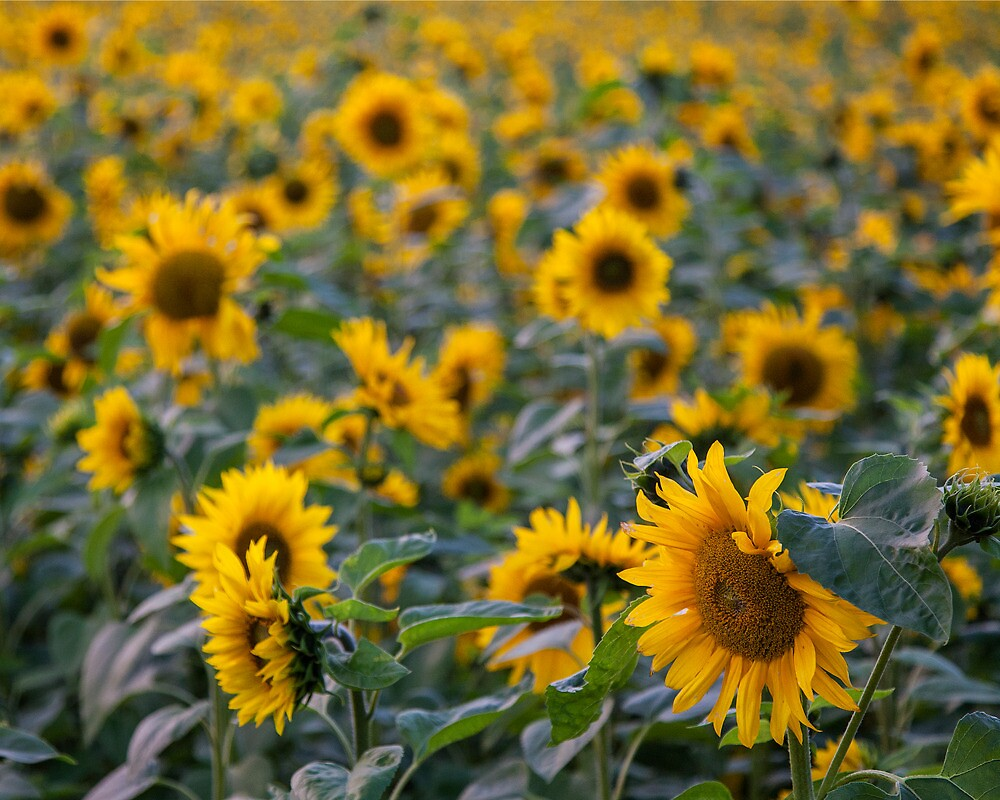Sunflowers by MikeBarber