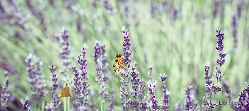 Lazy Lavender by Cathy Donohoue