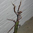 Praying Mantis by nosajnybor