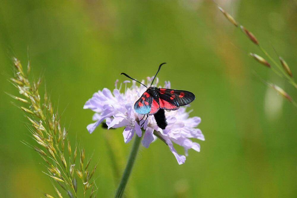 Burnett moth by Dave646