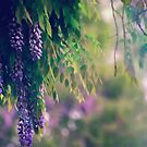 Wisteria in the Rain by KatieIridescent