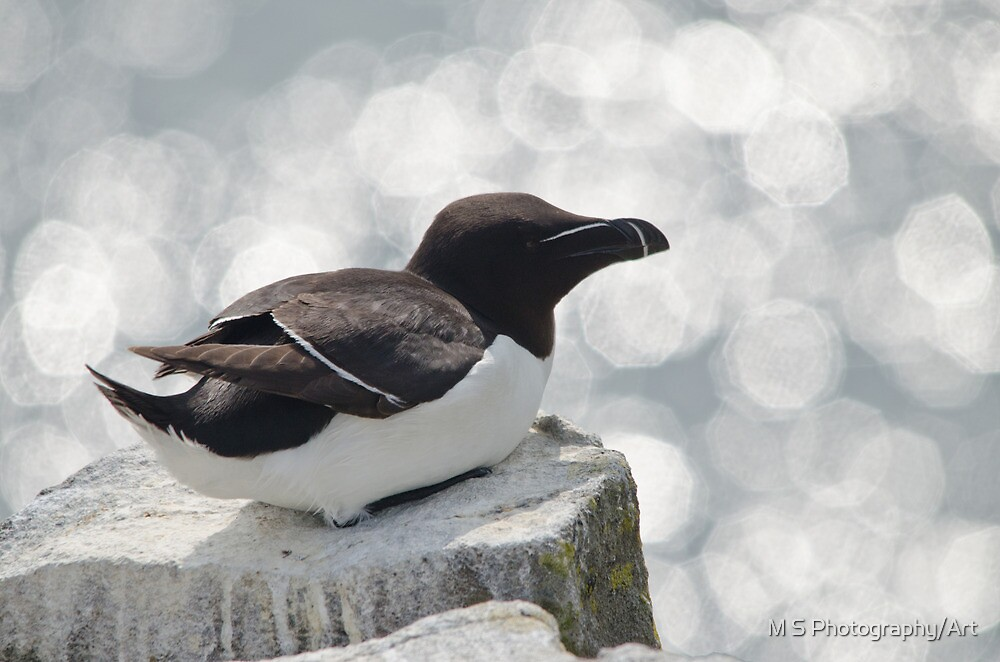 Razorbill by M S Photography/Art