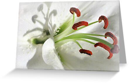 Lily by pamlinpa