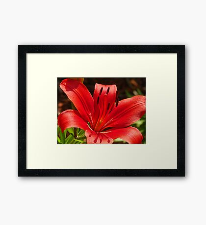 Red Garden Lily Framed Print