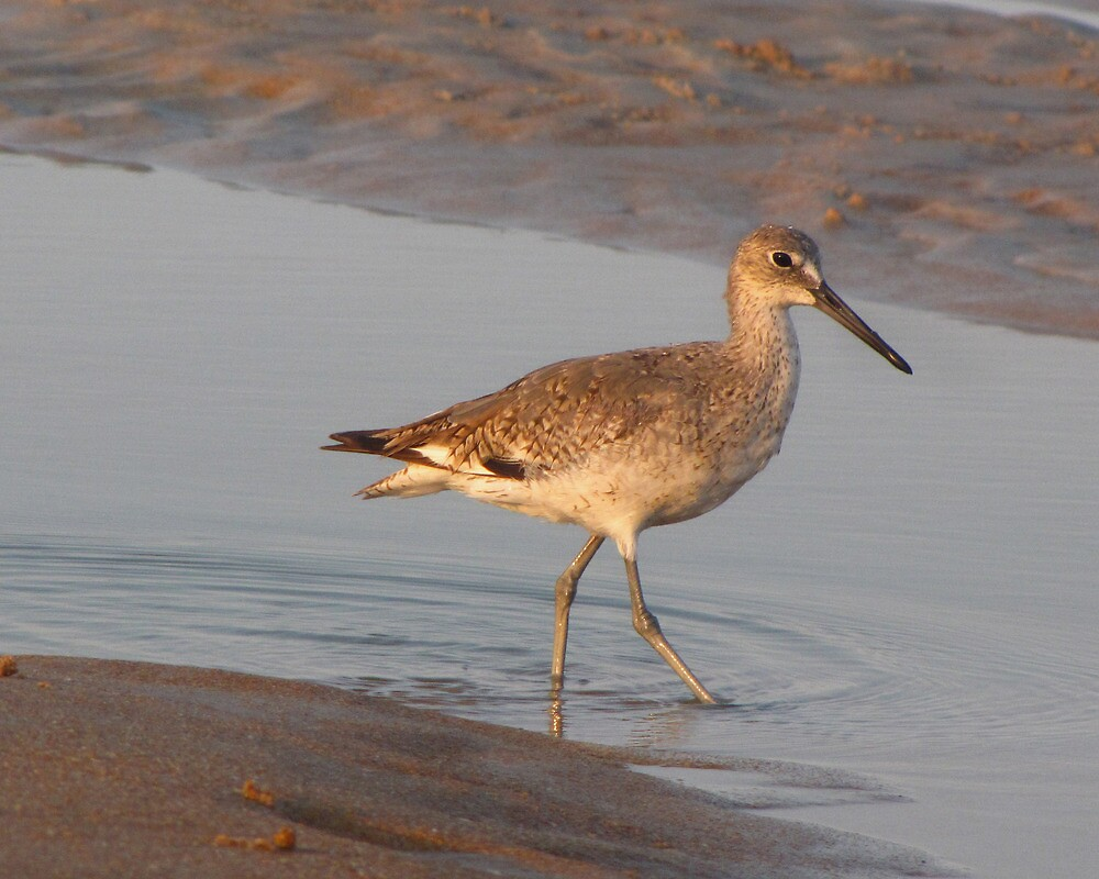 Willet at Sunset by caybeach