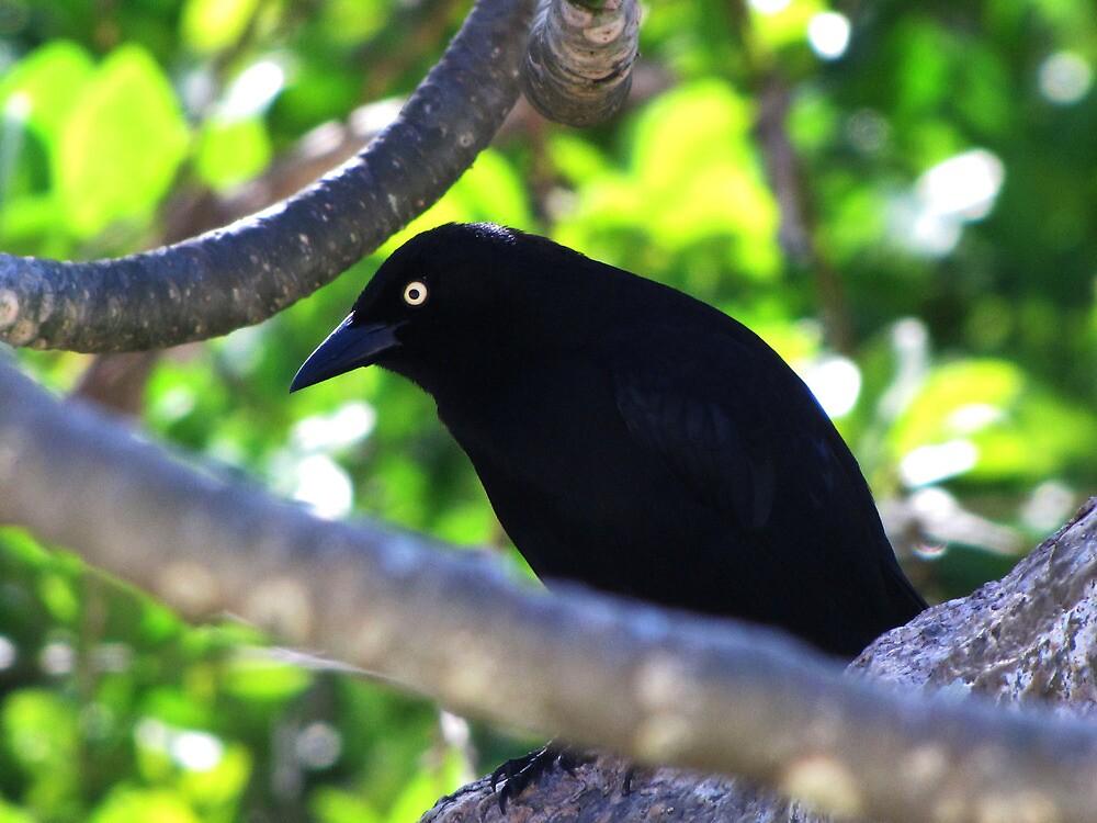 Carib Grackle by caybeach