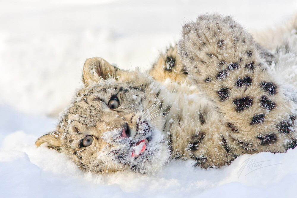 Snow Leopard Day by johnhaig