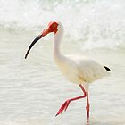 White Ibis in water by Joe Manno
