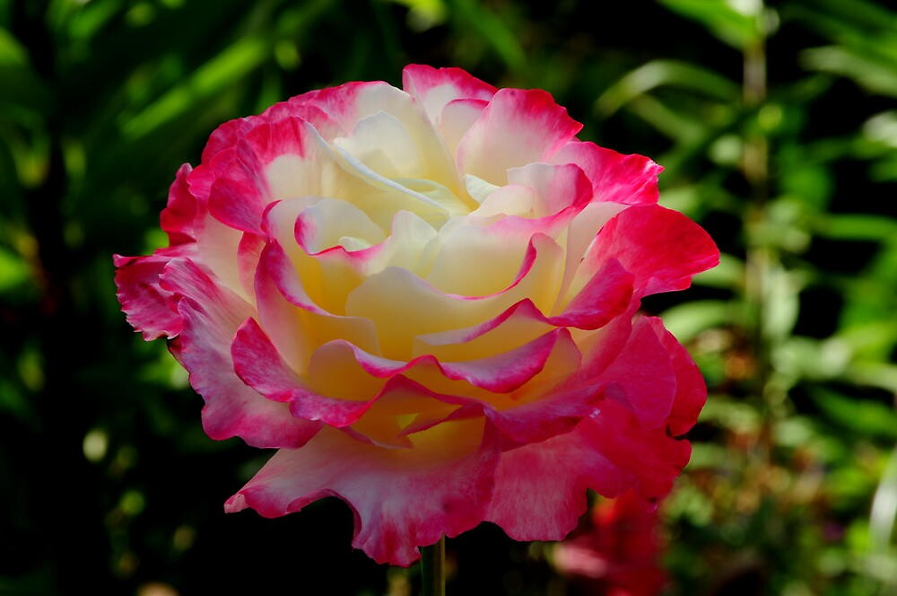 THE WONDER OF A BEAUTIFUL ROSE~ by RoseMarie747