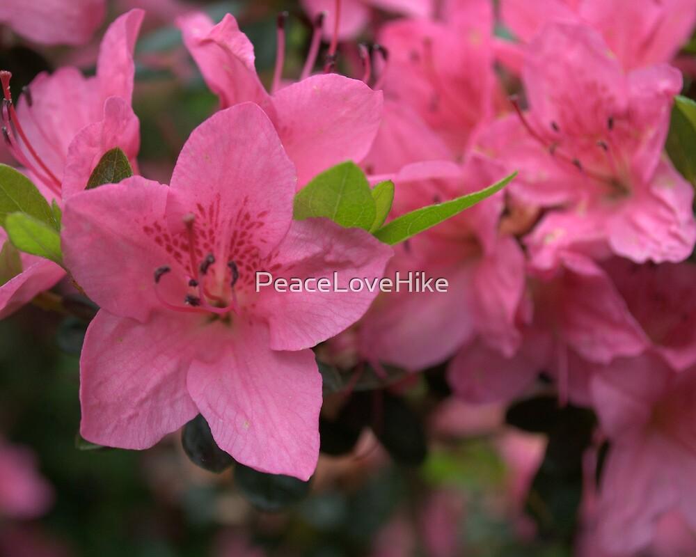 Azaleas in Bloom by PeaceLoveHike