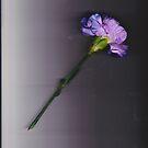 Blue Carnation by ZAPcreativity