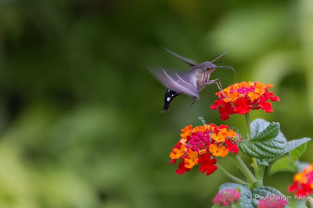 Hummingbird Moth #1 by Paul Danger Kile