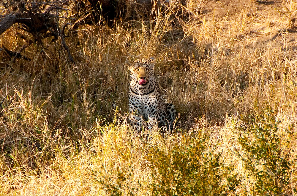 Hungry Leopard by Clive S