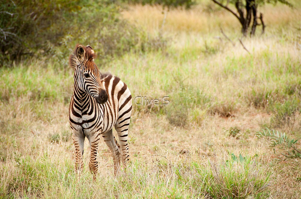 Baby Zebra by Clive S
