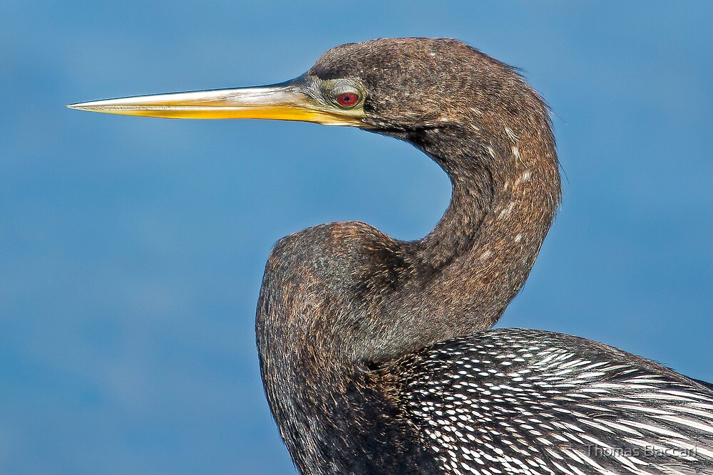 Anhinga Up Close by TJ Baccari Photography