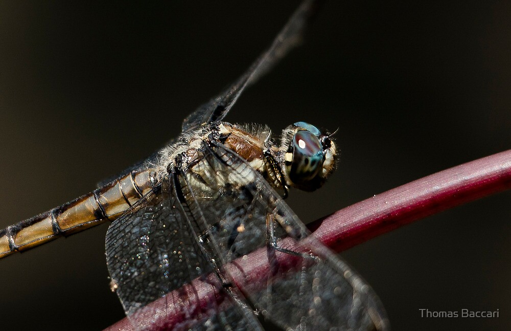 Dragonfly (BEST VIEWED LARGE) by TJ Baccari Photography