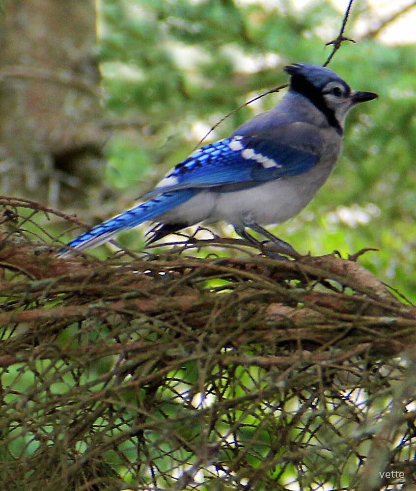 Blue Jay by vette