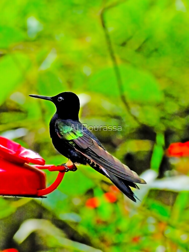 Velvet-Purple Coronet Hummingbird in Mindo II by Al Bourassa