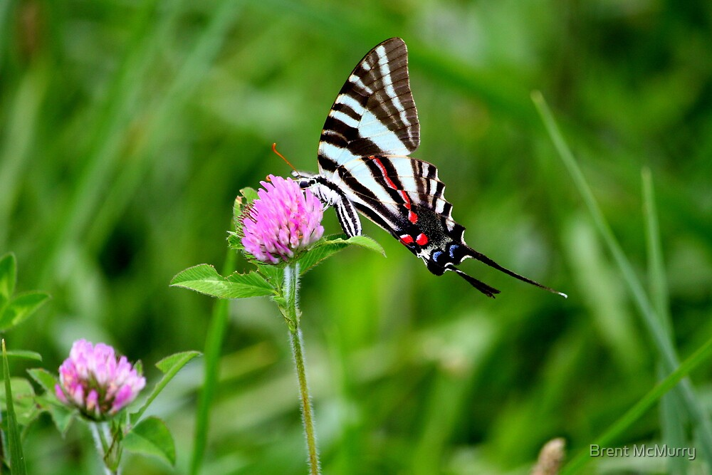 Zebra Stripe swallotail by Brent McMurry