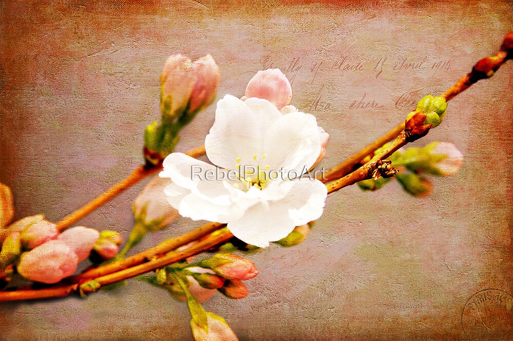 A Cherry Blossom For You by RebelPhotoArt