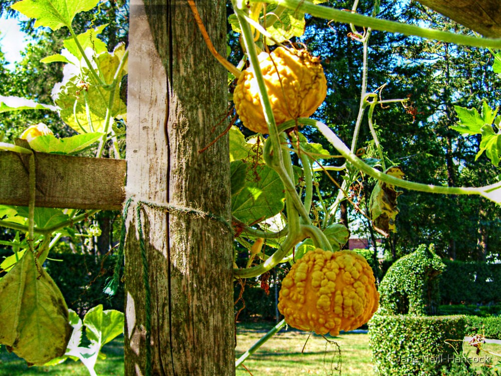 Squash On The Vine by Jane Neill-Hancock