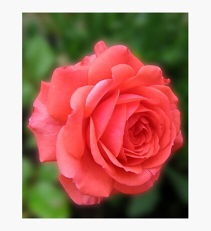 Dreamy Blush Pink Miniature Rose Photographic Print