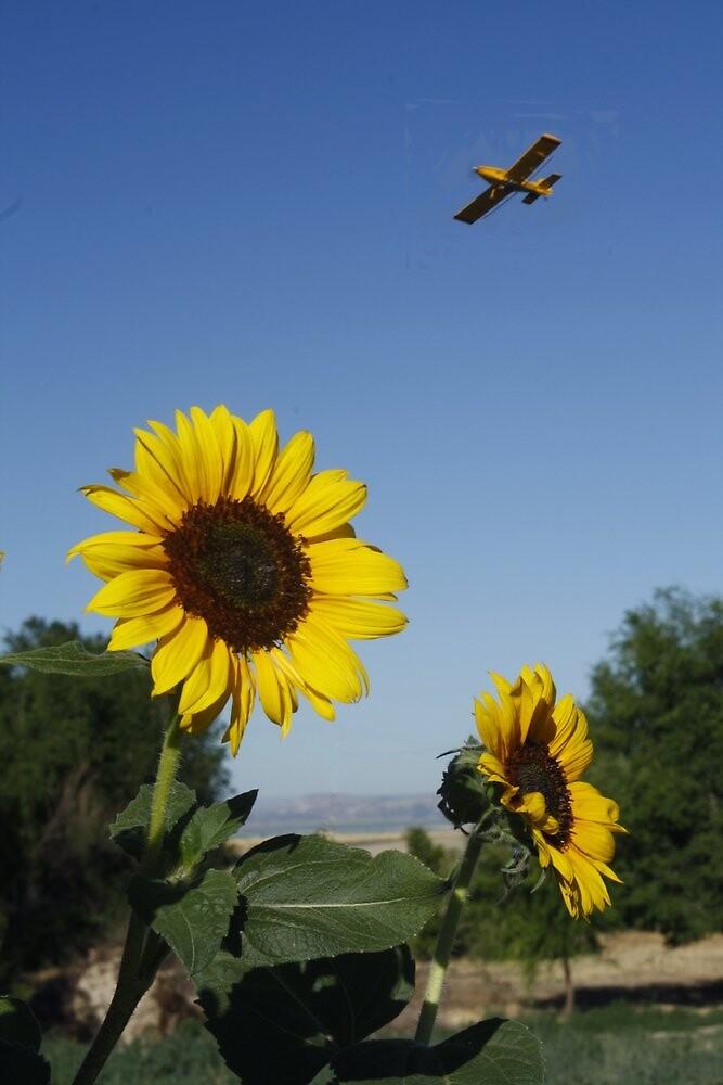 Sunflower and Spray Plane by Carol Collins