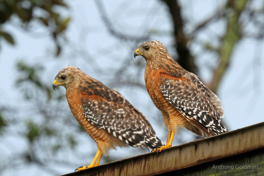 A Handsome Hawk Couple by Anthony Goldman