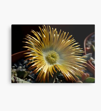 SUCCULENTS OF NAMAKWALAND - WESTERN CAPE SOUTH AFRICA 2 Metal Print