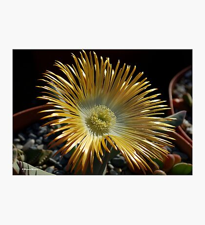 SUCCULENTS OF NAMAKWALAND - WESTERN CAPE SOUTH AFRICA 2 Photographic Print