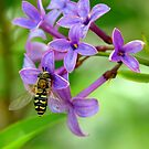 Hoverfly on Spring Lilac by K D Graves Photography