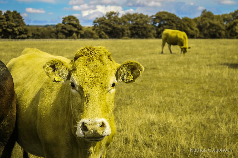 Camouflage Cows by Nathan Colquhoun