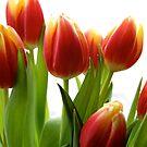 Tulips on white by freshairbaloon