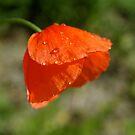Poppy dew by freshairbaloon