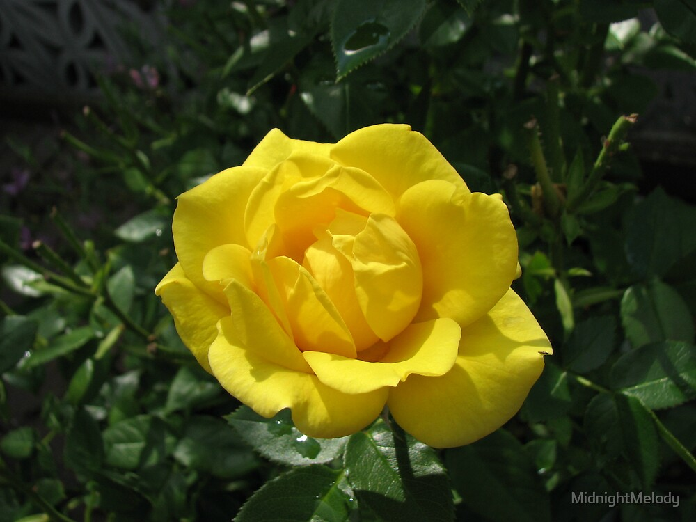 Beautiful Golden Rose After Rain by MidnightMelody