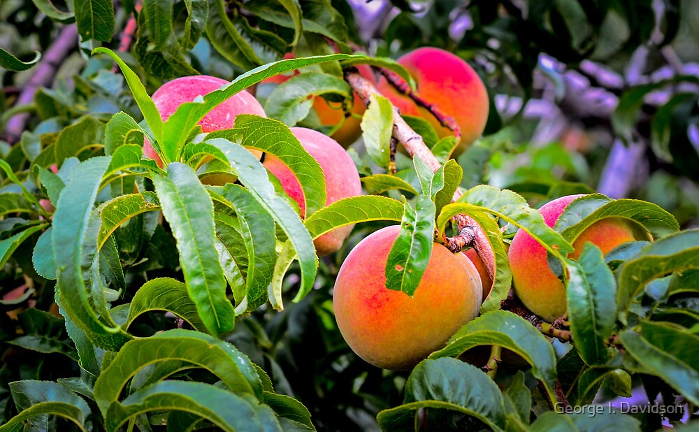 Peaches by George I. Davidson