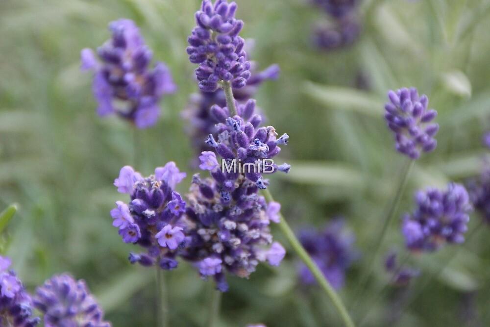Lavender by MimiB