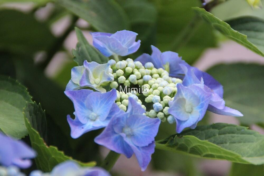 Lilac hydrangea by MimiB