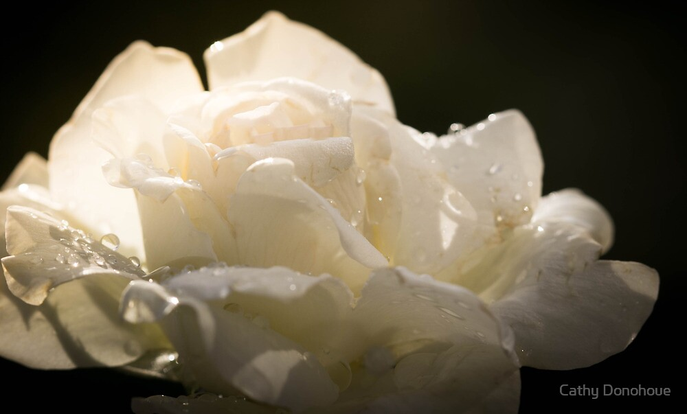 White Rose After the Rain by Cathy Donohoue