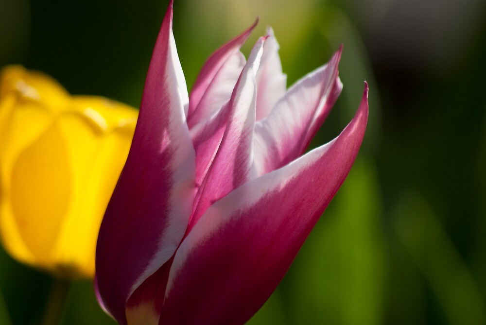 Tulip by Kevin Cartwright