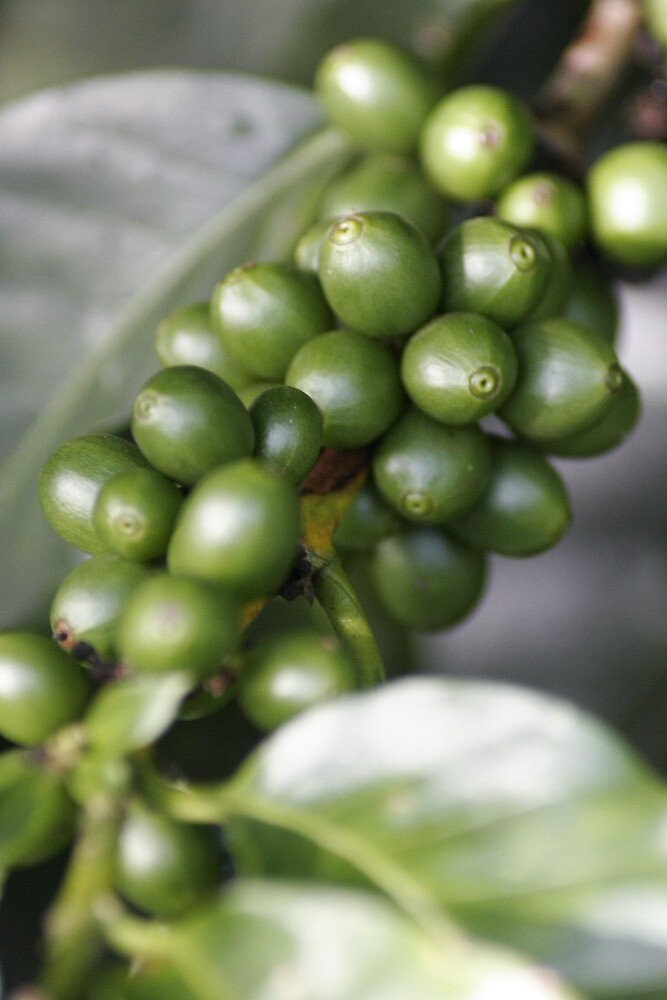 Costa Rica Coffee by Robert Taylor