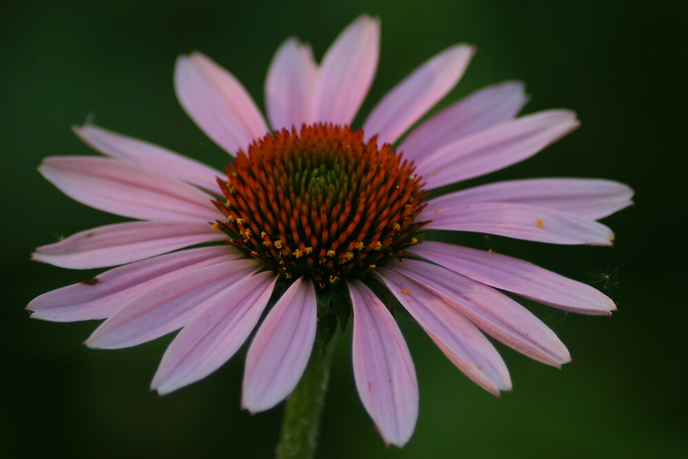 Purple Cone flower by Robert Taylor