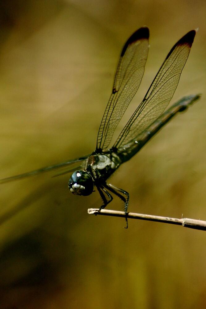 North Carolina Dragonfly by Robert Taylor