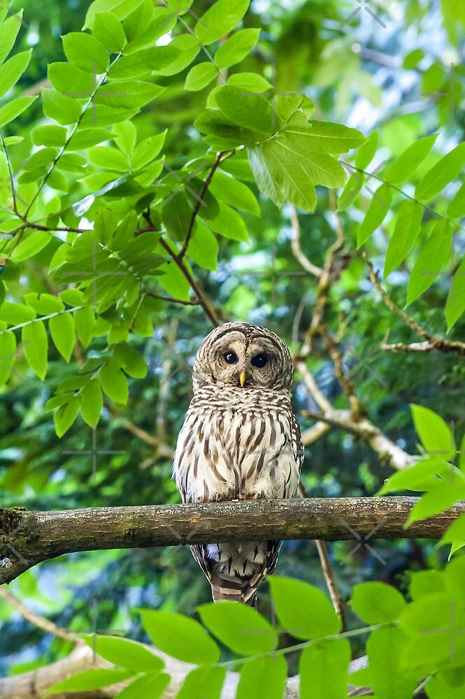 Barred Owl july25 by Randy Giesbrecht