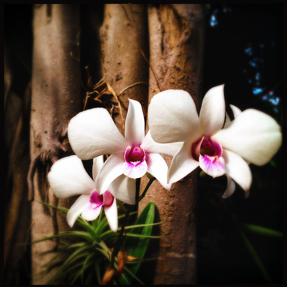 White, Angry Orchids by Niki Smallwood