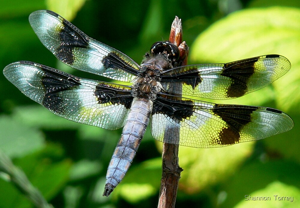 dragonfly5 by Shannon  Torrey