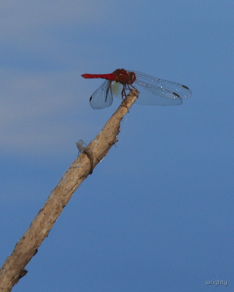 Dragonfly on reed by wrighty