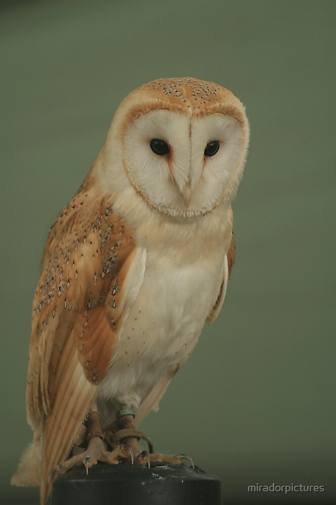Posing for the camera! A wise old barn owl by miradorpictures