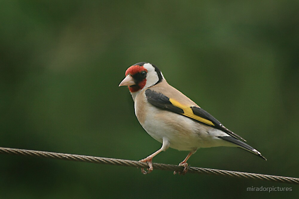 On the rails!! A stunning goldfinch at rest by miradorpictures