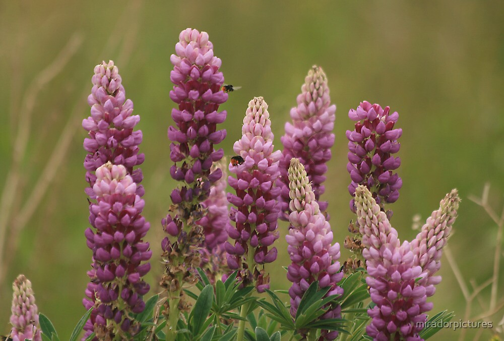 Lupin attracting the bees by miradorpictures